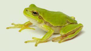 Laumans GREENER Frosch